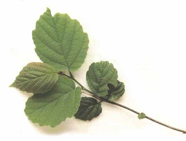 Hamamelis Virginiana ( Witch Hazel) Leaf Extrac