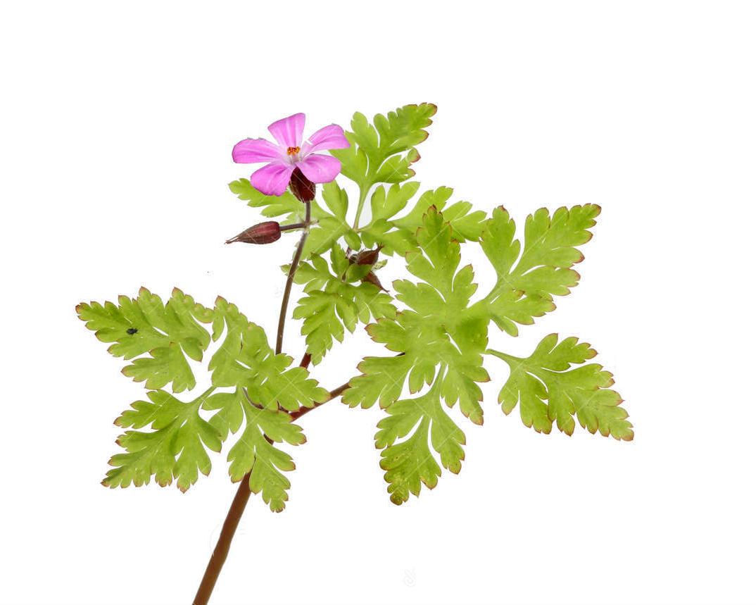 Geranium robertianum extract