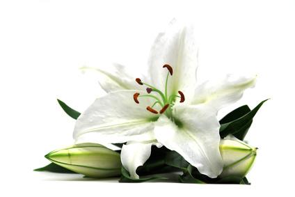 Lilium Candidum Flower Extract