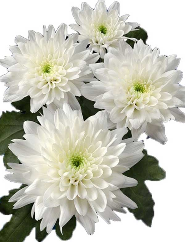 Chrysanthemum Morifolium Flower Extract